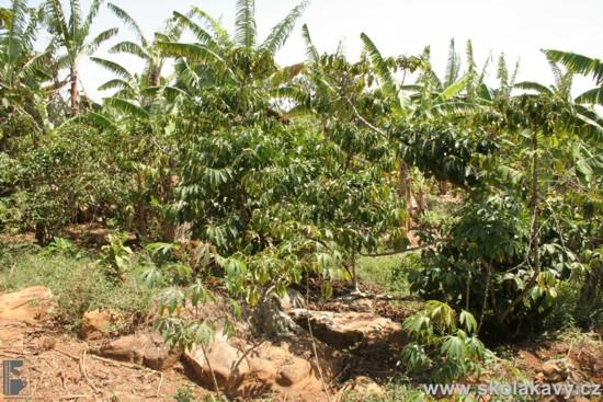 Kávovníky se pěstují ve stínu stromů s banány.