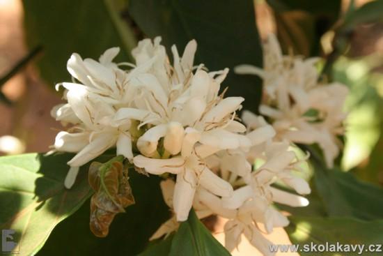 Omamně vonící květy kávovníku