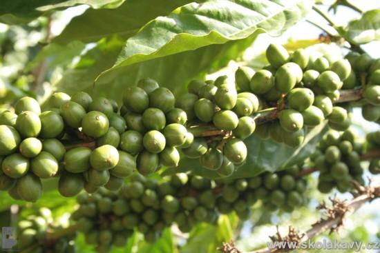 Kávovníky byly doslova zasypány plody.